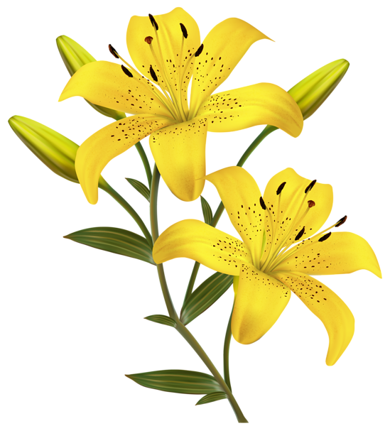 Lily flower clipart black and white stock Yellow Lilies PNG Clipart Image | Travel around etsy and not just ... black and white stock