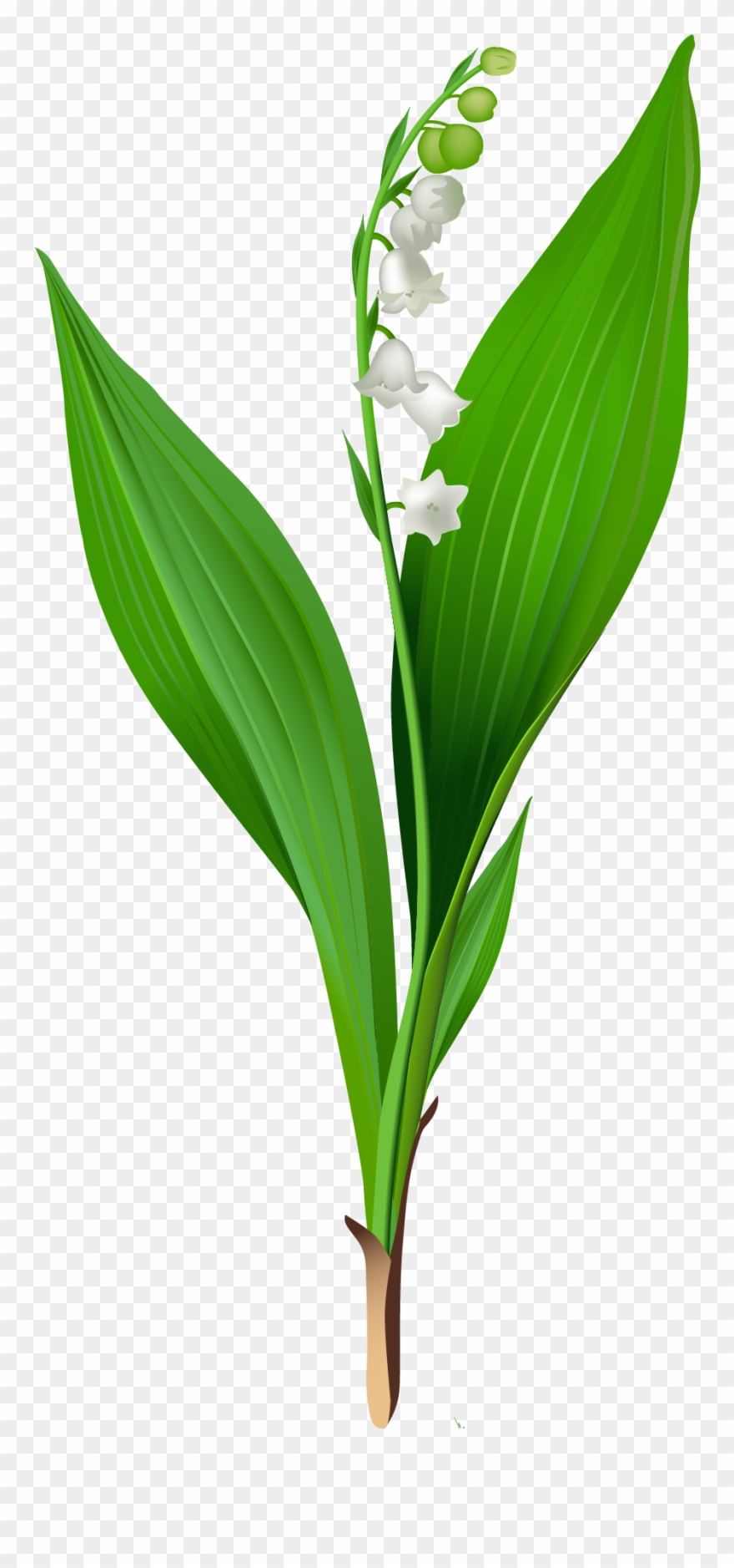 Lilly of the valley clipart svg transparent library Flowers For > Lily Of The Valley Clip Art - Lily Of The Valley ... svg transparent library