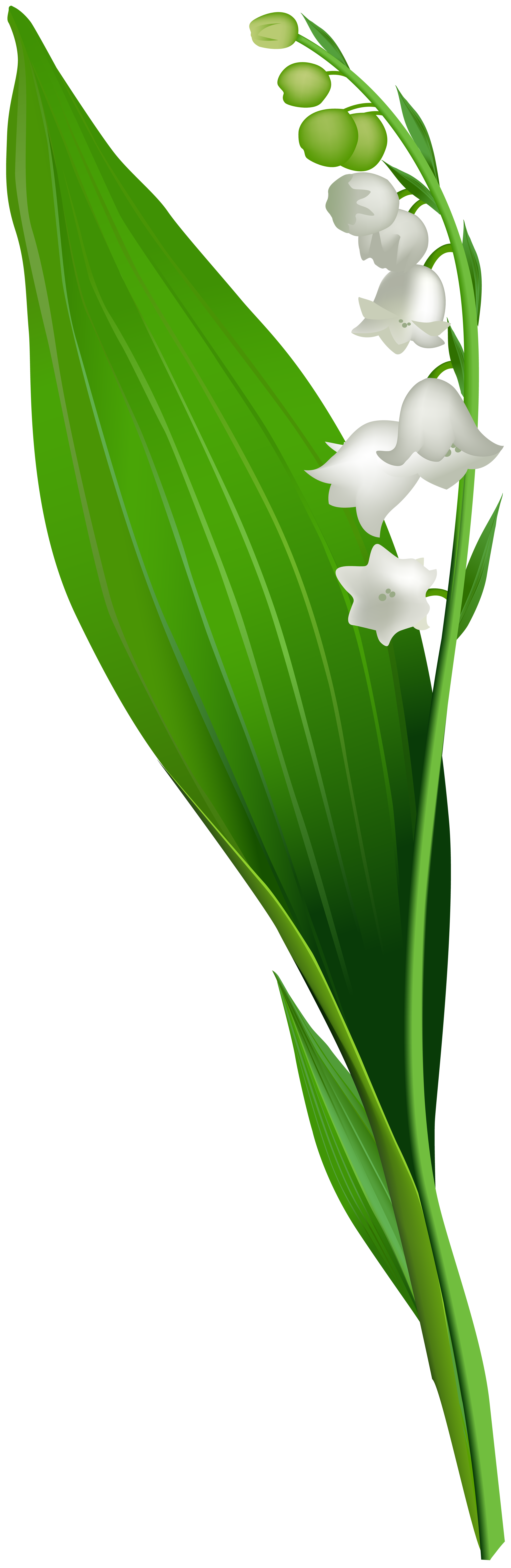 Lilly of the valley clipart vector freeuse download Lily of the valley clipart clipart images gallery for free download ... vector freeuse download