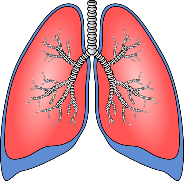 Respiratory system lung sacs clipart no background