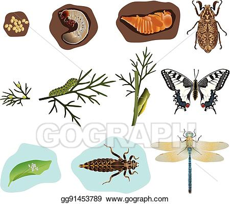 Clipart metamorphasis clip art transparent download Vector Clipart - Metamorphosis of insects. Vector Illustration ... clip art transparent download