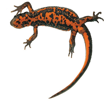 Clipart newt picture royalty free Free Newt Clipart, Download Free Clip Art, Free Clip Art on Clipart ... picture royalty free