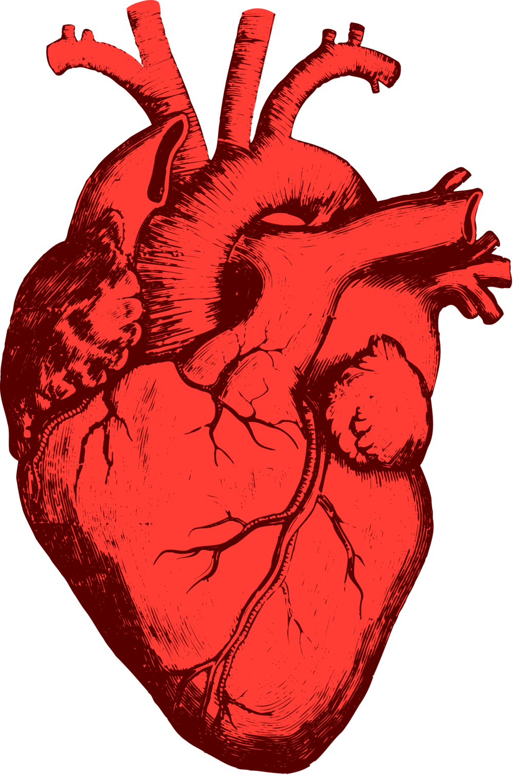 Clipart of a beating heart graphic library stock Engineered Heart Tissue Boosts Heart Function In Mice — Longevity ... graphic library stock