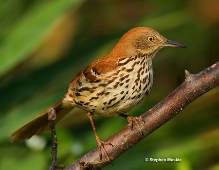 Clipart of georgia brown thrasher and tiger swallowtail butterefly