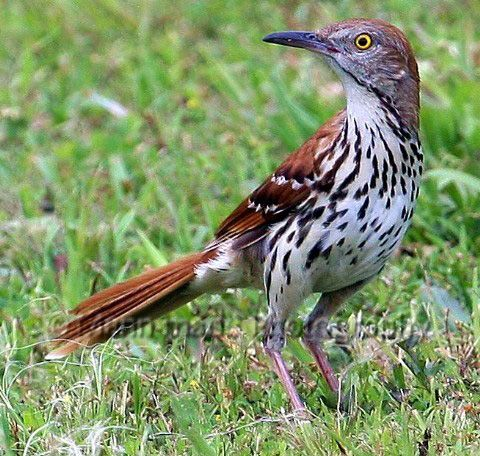 Clipart of georgia brown thrasher and tiger swallowtail butterefly clip black and white library Brown Thrasher - The World\'s Greatest Singer - Oklahoma Birds and ... clip black and white library