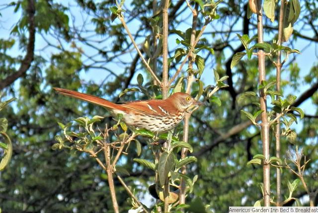 Clipart of georgia brown thrasher and tiger swallowtail butterefly jpg free Photos Birds, Butterflies, Dragonflies | Americus Garden Inn jpg free