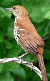 Clipart of georgia brown thrasher and tiger swallowtail butterefly free stock Portal:Georgia (U.S. state)/Intro/Image - Wikipedia free stock