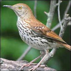 Clipart of georgia brown thrasher and tiger swallowtail butterefly image free stock 69 Best Georgia images in 2016 | Georgia, Birds of georgia, Brown ... image free stock