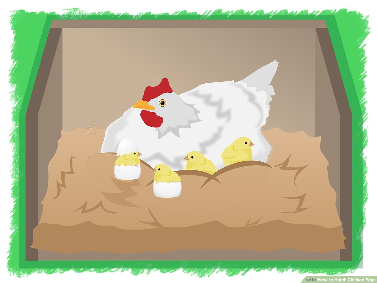 Clipart of mother hen protecting her chicks clip art freeuse download 3 Ways to Hatch Chicken Eggs - wikiHow clip art freeuse download