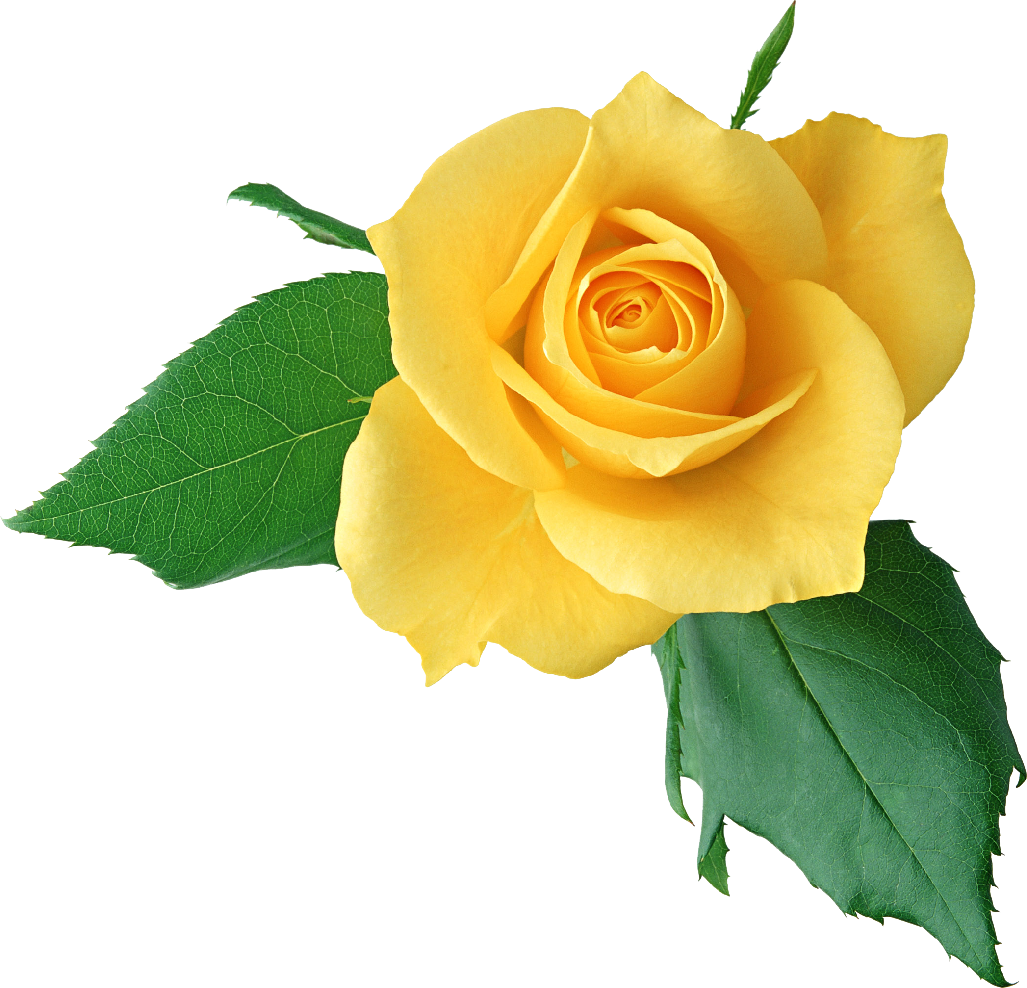 Yellow rose clipart png png transparent stock Download Yellow Rose PNG Clipart - Free Transparent PNG Images ... png transparent stock