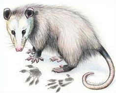 Clipart opposum black and white download 46+ Possum Clipart   ClipartLook black and white download