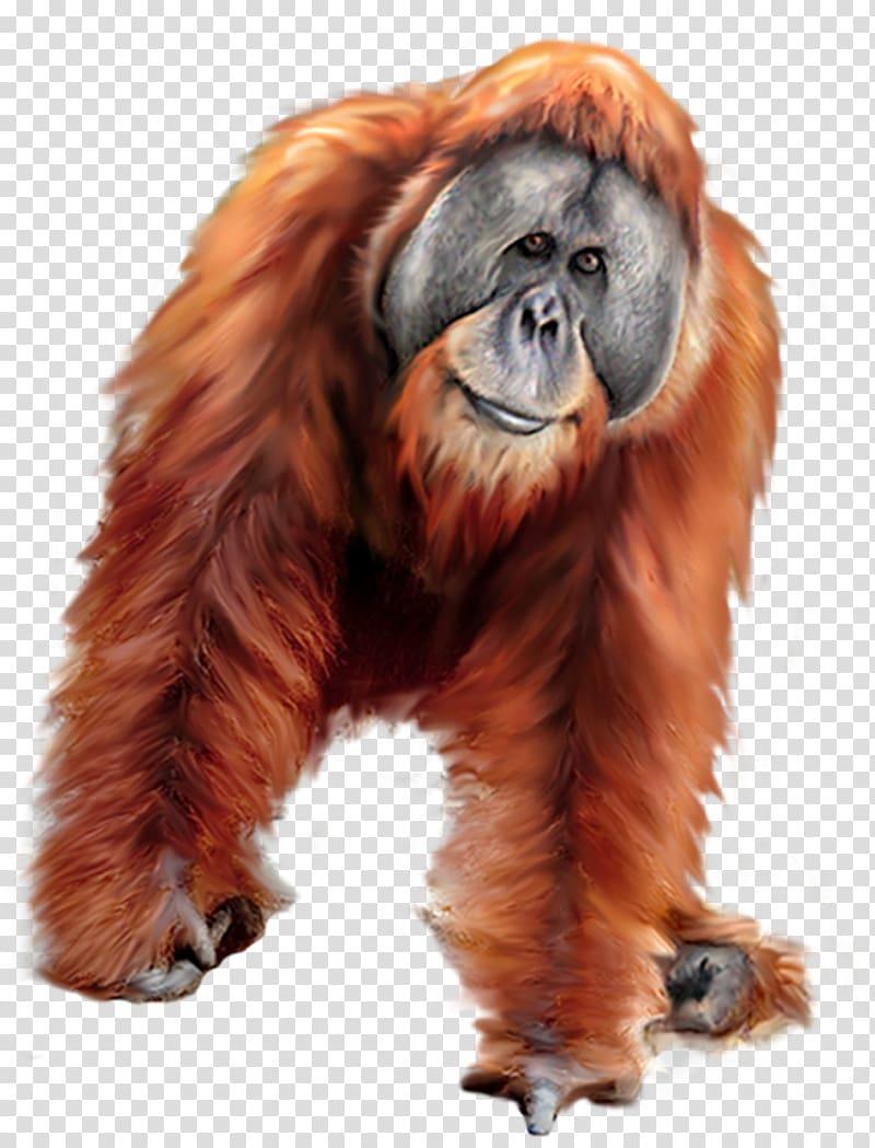 Clipart orangutan clip art royalty free stock Orangutan Gorilla Tiger, orangutan transparent background PNG ... clip art royalty free stock