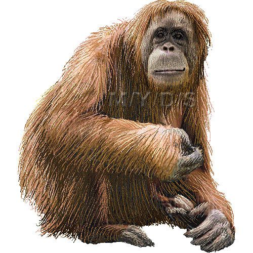 Clipart orangutan banner free Orangutan clipart picture / Large | Clip Art- Animals | Orangutan ... banner free