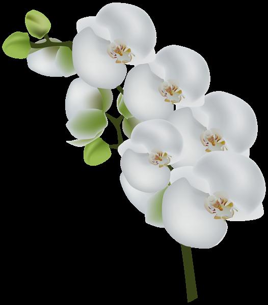 White flower clipart transparent background jpg transparent White Orchid Transparent Clip Art Image | Gallery Yopriceville ... jpg transparent