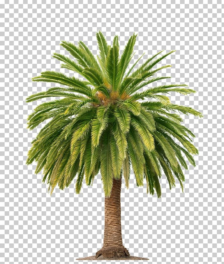Clipart palm oil picture free Palm Wine Arecaceae Palm Oil Tree PNG, Clipart, African Oil Palm ... picture free