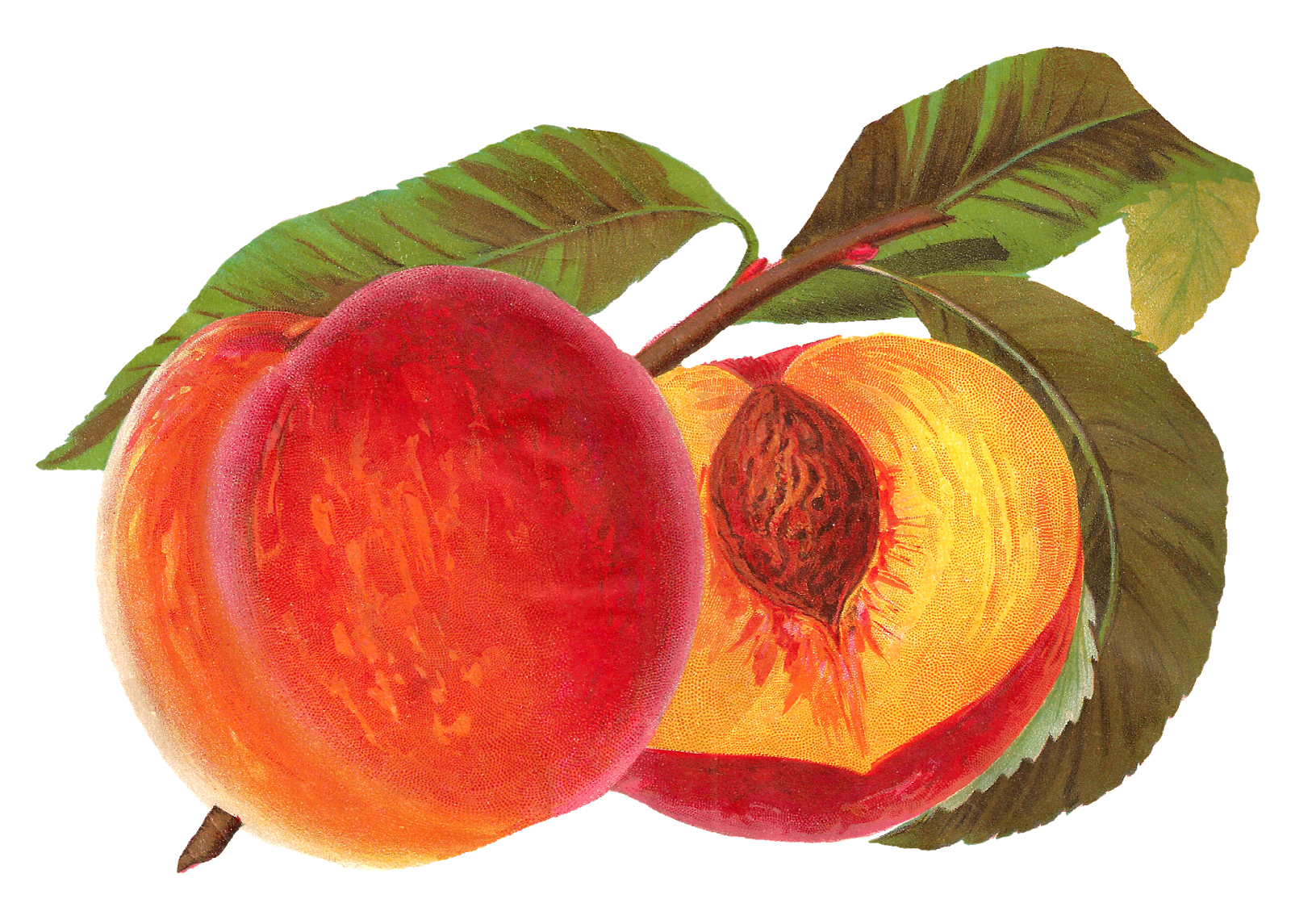 Clipart peach tree png freeuse library Antique Images: Printable Peach Seed Catalog Artwork Vintage Fruit ... png freeuse library