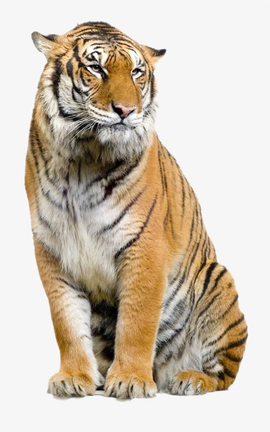 Clipart photo editor download jpg free library Tiger, Tiger Clipart, Animal PNG Transparent Image and Clipart for ... jpg free library