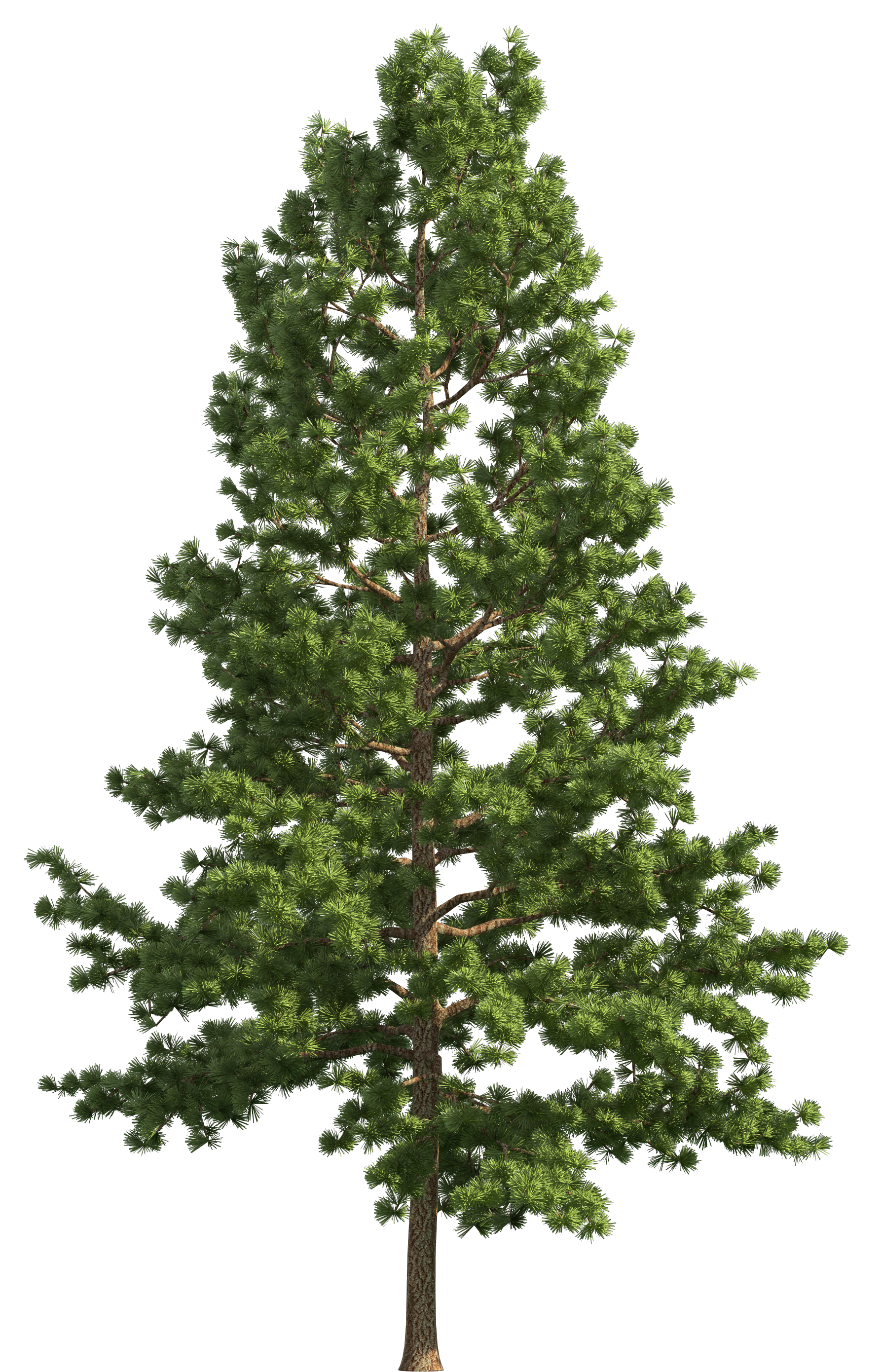 Clipart pine tree image freeuse download Pine Realistic Tree PNG Clip Art - Best WEB Clipart image freeuse download