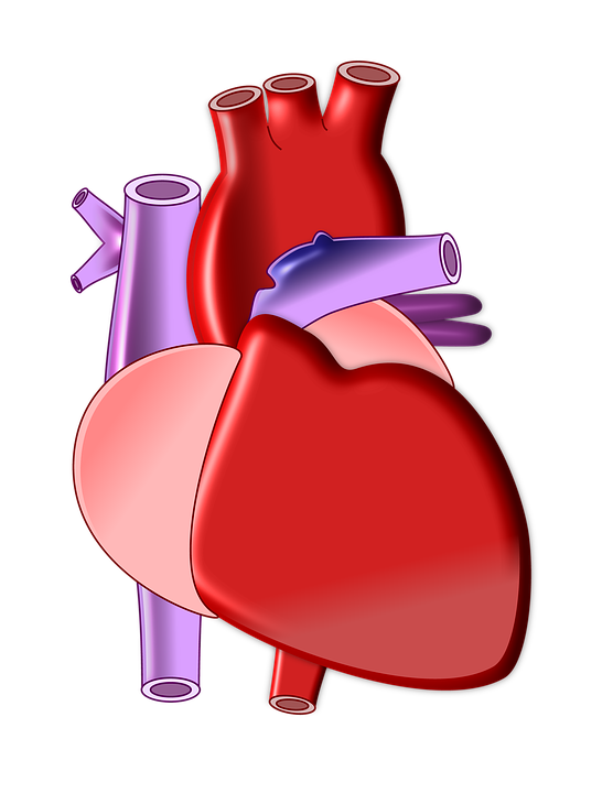 Organs Clipart biological heart - Free Clipart on Dumielauxepices.net clipart library library