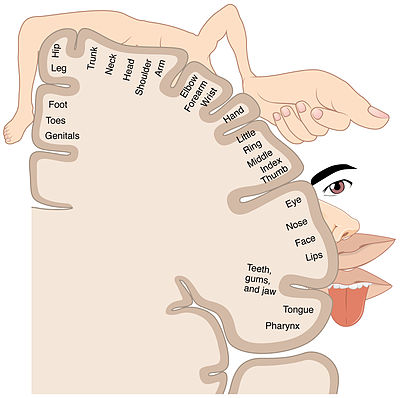 Clipart representing the changing potrayal of the human body image free stock Cortical homunculus - Wikipedia image free stock