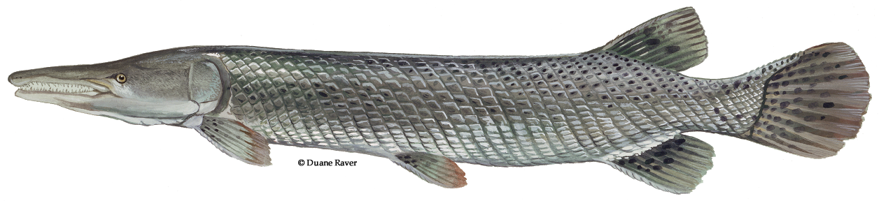 Fish clipart freshwater image free download Freshwater Fish of the West - Alligator gar image free download