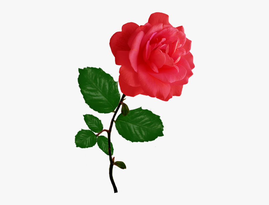 Clipart rosa clipart freeuse library Red Red Rose Clipart - Single Pink Rose Png Transparent #234648 ... clipart freeuse library