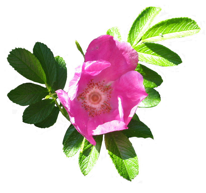 Clipart rosa png royalty free stock Rose Clipart png royalty free stock