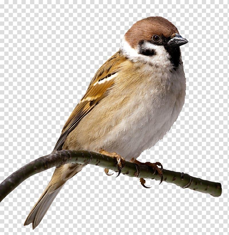 Clipart sparrows banner transparent download House Sparrow Bird , sparrow transparent background PNG clipart ... banner transparent download