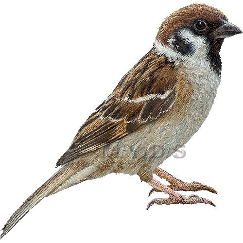 Clipart sparrows vector library Tree Sparrow clipart picture / Large | Clip Art- Animals | Birds ... vector library
