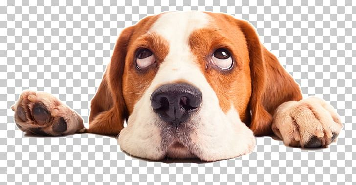 Clipart spoiled beagle clipart download Puppy Beagle Cat Pet Sitting PNG, Clipart, Animal, Animals, Basset ... clipart download