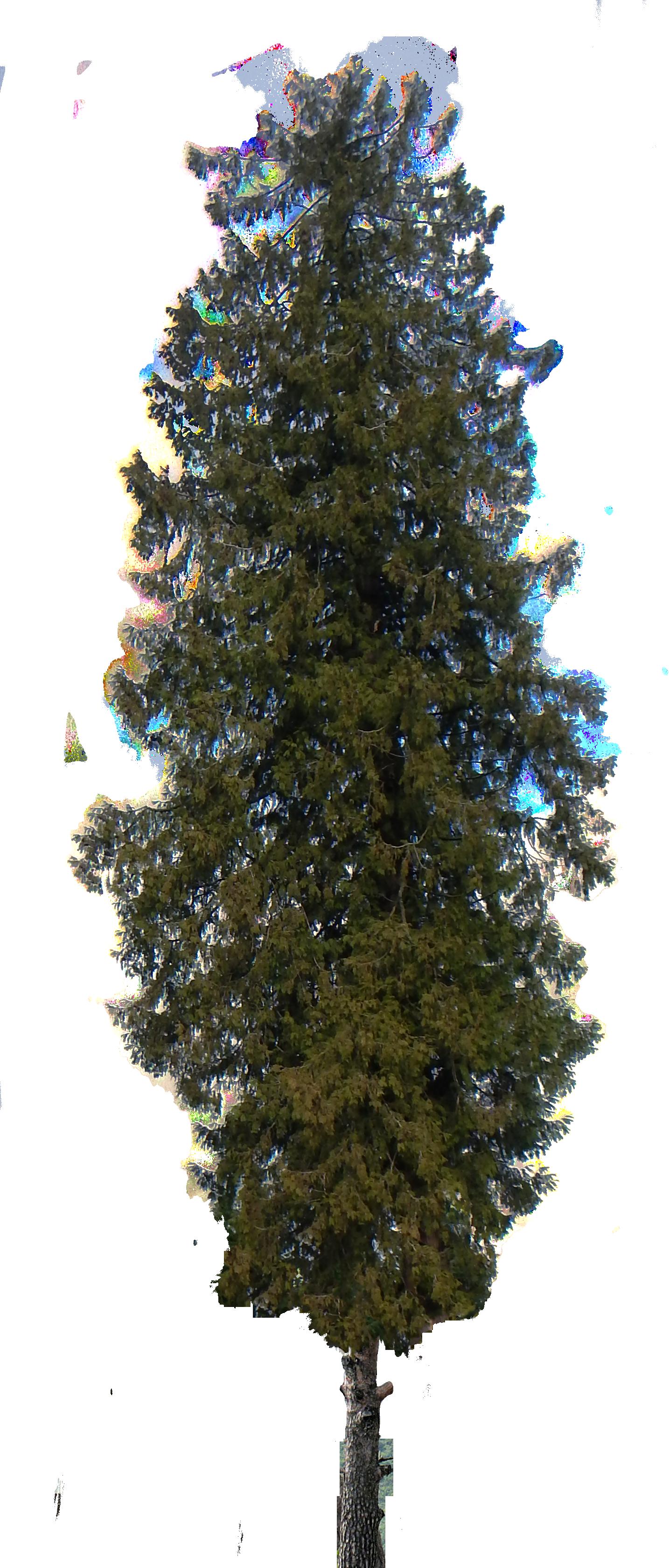 Clipart spruce tree clip black and white library Pine Tree Shrub Cedar Clip art - pine tree 1434*3358 transprent Png ... clip black and white library