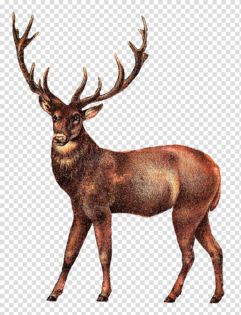 Clipart stag royalty free stock White-tailed deer Elk , deer transparent background PNG clipart ... royalty free stock