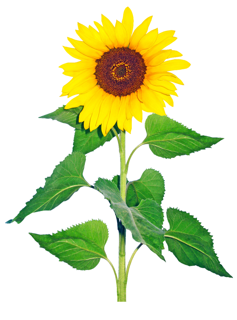 Clipart sun on flowers free library Sun Flower Transparent Png Image by Nick-Jaipur on DeviantArt free library