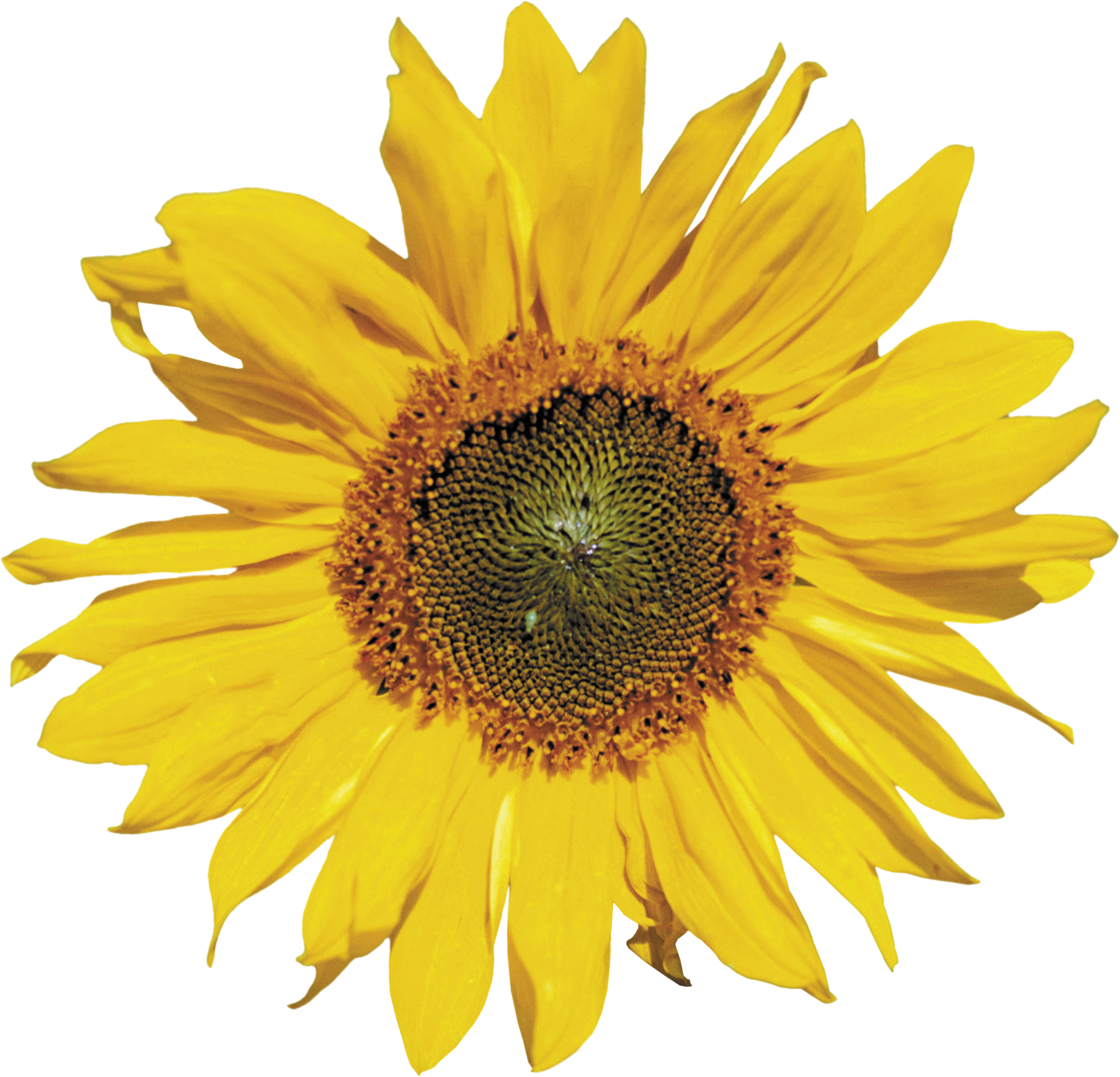 Clipart sun on flowers picture freeuse Sunflower PNG images free download picture freeuse