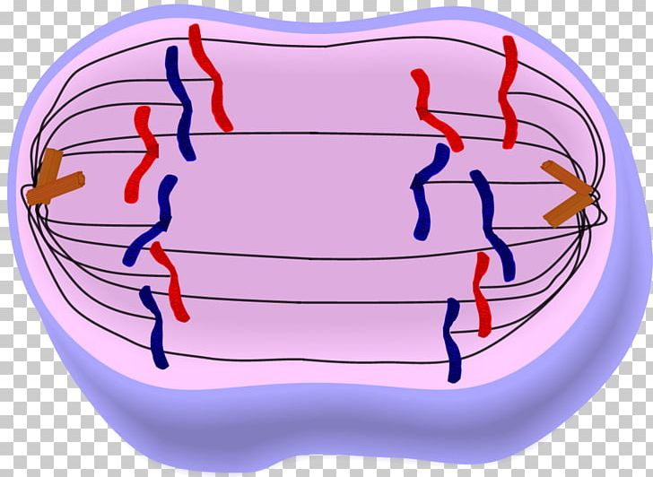 Clipart telophase jpg freeuse library Anaphase Mitosis Metaphase Prophase Telophase PNG, Clipart, Anaphase ... jpg freeuse library