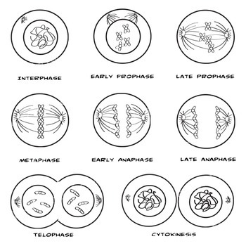 Clipart telophase image transparent library Cell Mitosis Clip Art - Cytokinesis - Cell Division - Color + B&W image transparent library