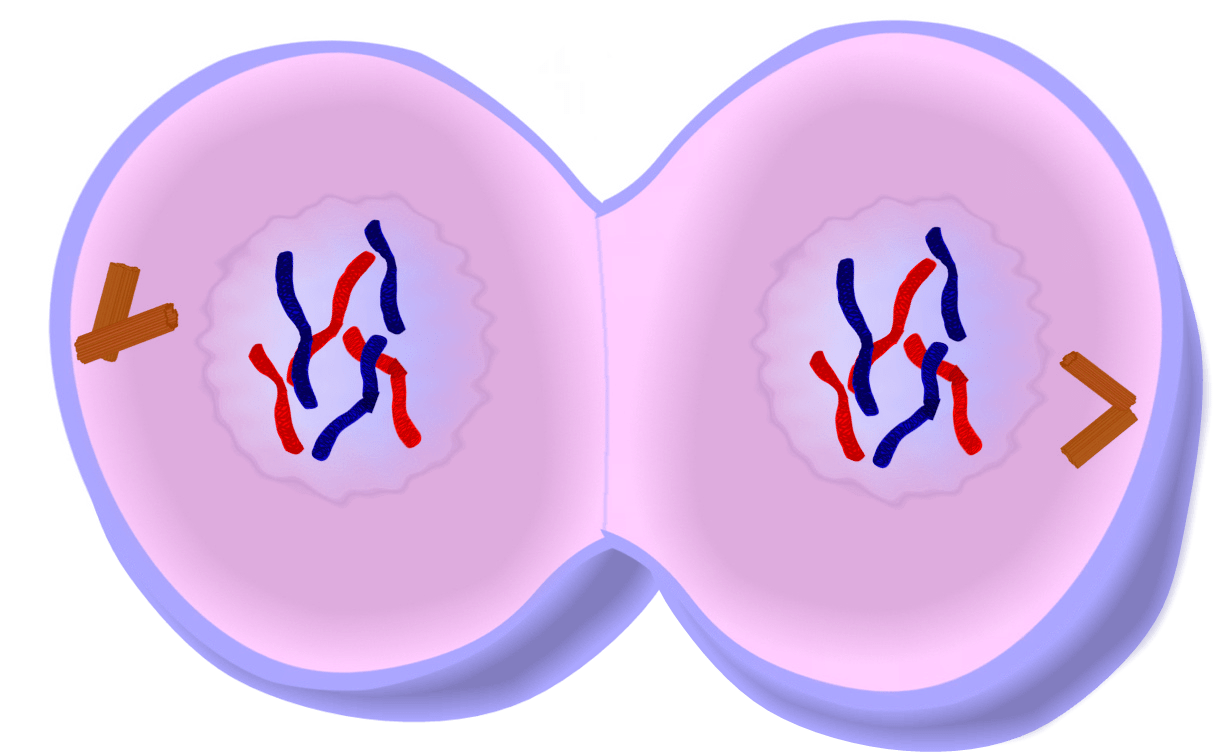 Clipart telophase image library library Telophase clipart 4 » Clipart Portal image library library