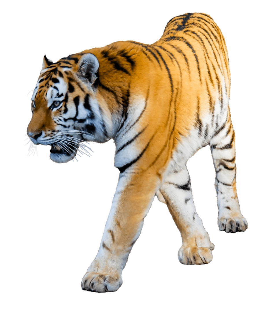 Clipart tiger background vector free download Animals - Tigers - Tiger With White Background Free PNG Images ... vector free download