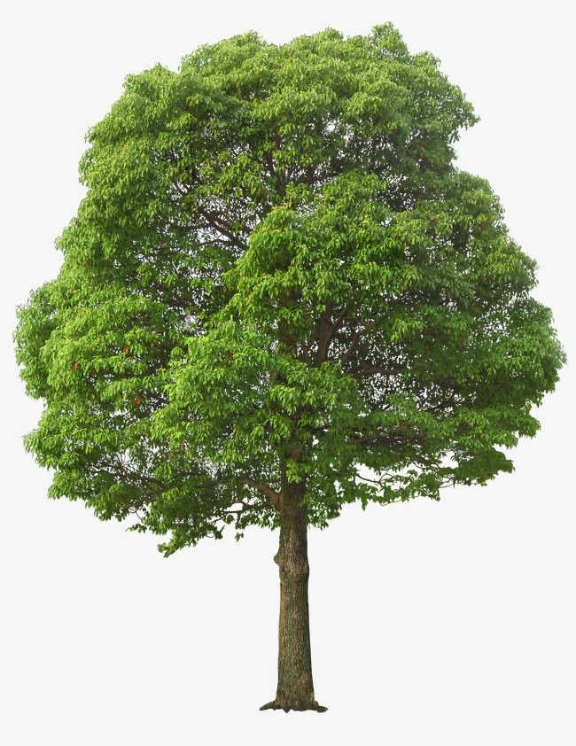 Clipart tree texture free download jpg transparent stock Lush Tree, Tree Clipart, Maunsell, Trees PNG Transparent Clipart ... jpg transparent stock