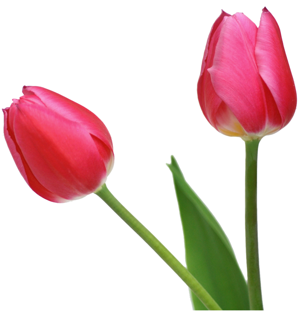 Tulip flower clipart image black and white Transparent Tulips PNG Flowers Clipart | Gallery Yopriceville ... image black and white