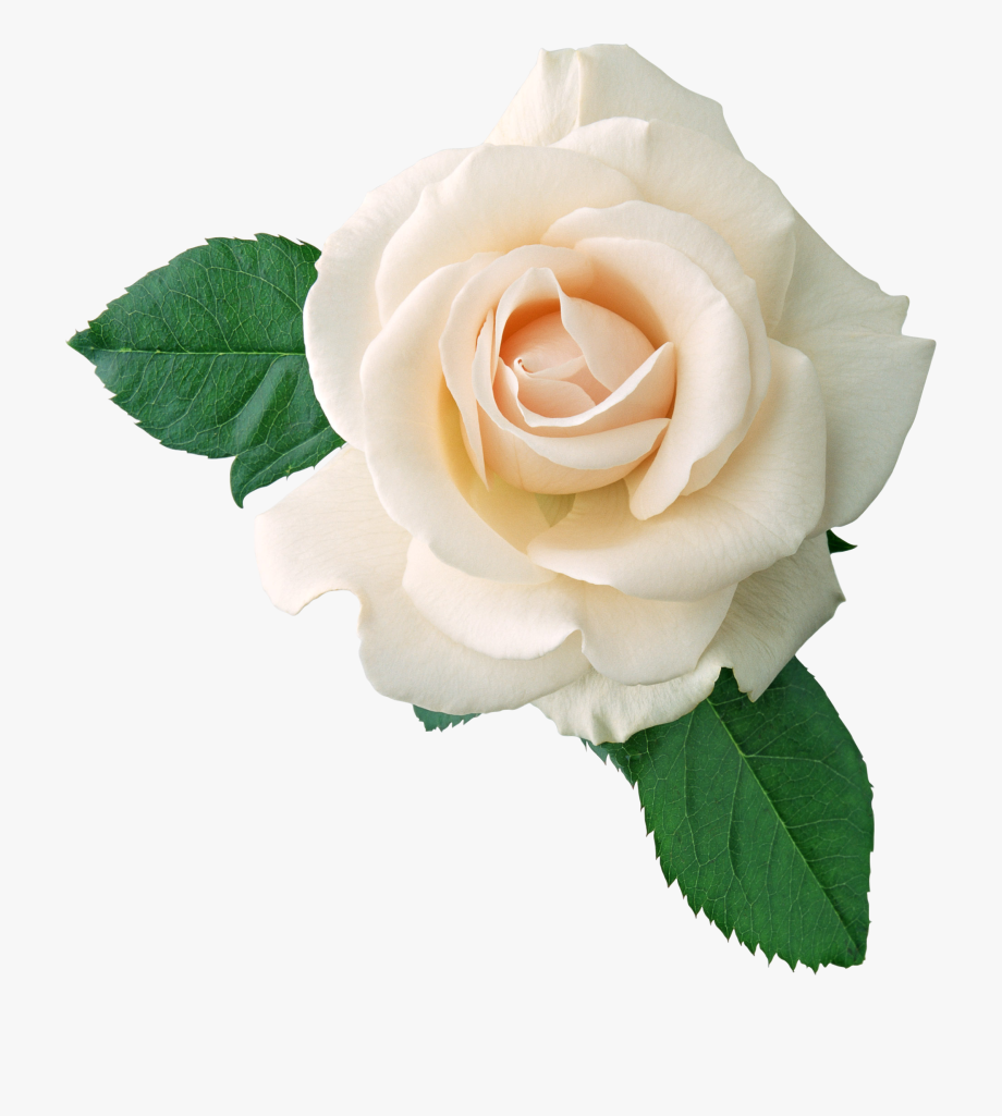 Clipart white rose clip black and white White Rose Png Image, Flower White Rose Png Picture - Transparent ... clip black and white
