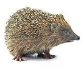 Cliparts igel kostenlos vector freeuse library Stock Photo of Hedgehog on white background x11436544 - Search ... vector freeuse library