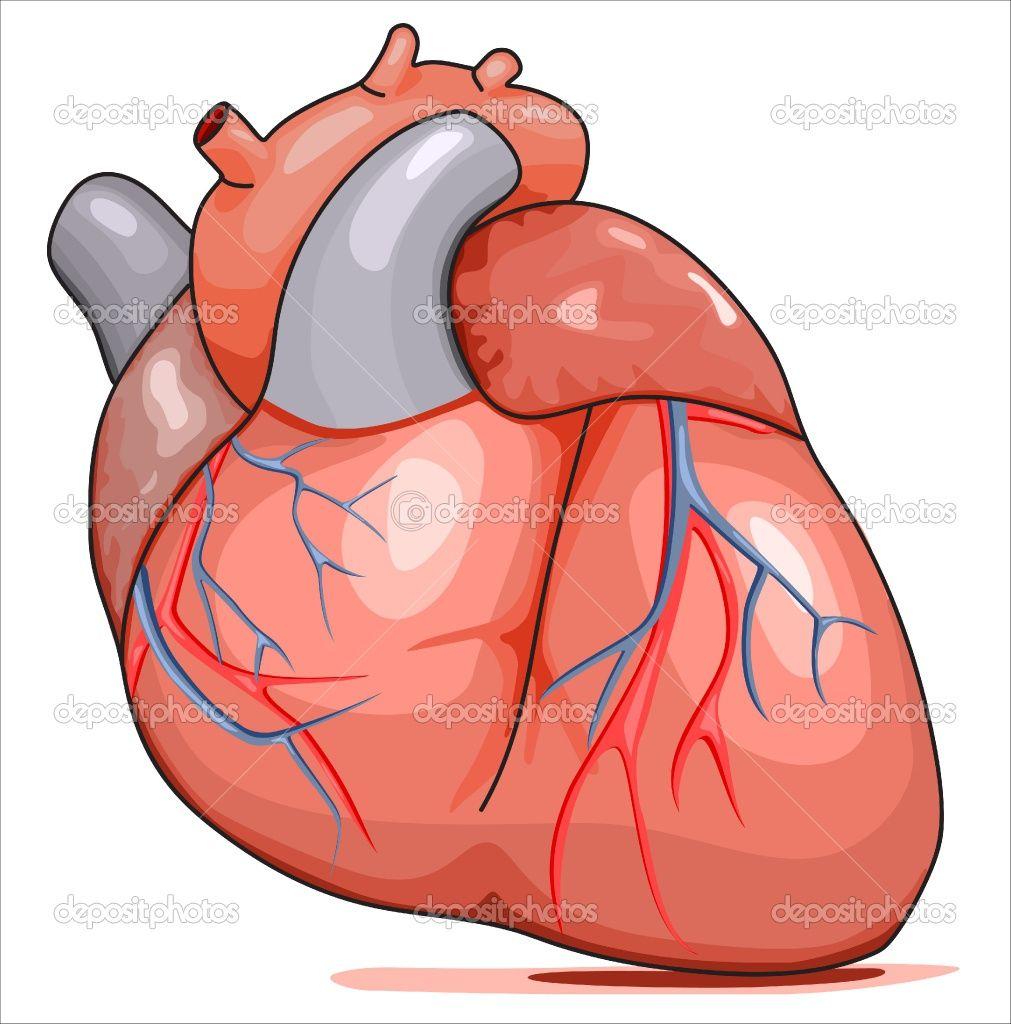 Best human cliparts png stock Cartoon Human Heart Clip Art | Cartoon Human Heart - ClipArt Best ... png stock