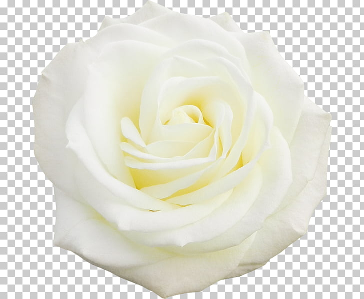 Cliparts rose blanche image freeuse library Garden roses Cabbage rose Floribunda Cut flowers Petal, Rose blanche ... image freeuse library
