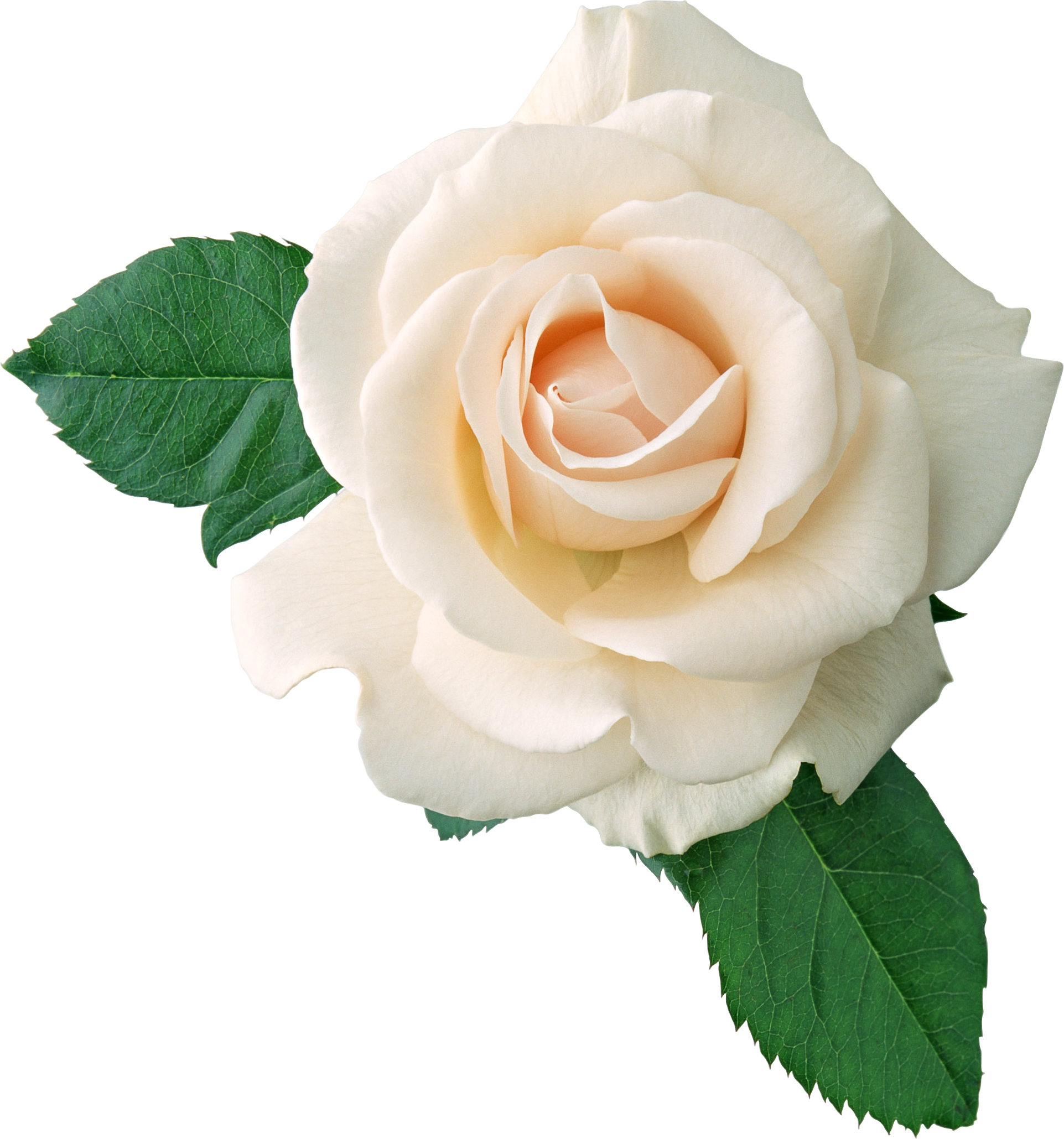 Cliparts rose blanche jpg freeuse stock Free White Rose Transparent, Download Free Clip Art, Free Clip Art ... jpg freeuse stock