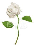 Cliparts rose blanche vector stock Illustration D\'une Belle Rose Blanche images vectorielles - Clipart.me vector stock