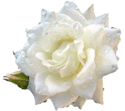 Cliparts rose blanche clip rose blanche clip