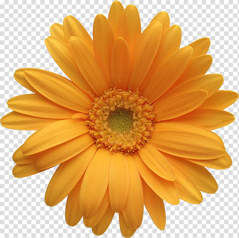 Clipart gerbera daisy graphic black and white Transvaal daisy Orange Common daisy i , Orange Gerber Daisy , yellow ... graphic black and white