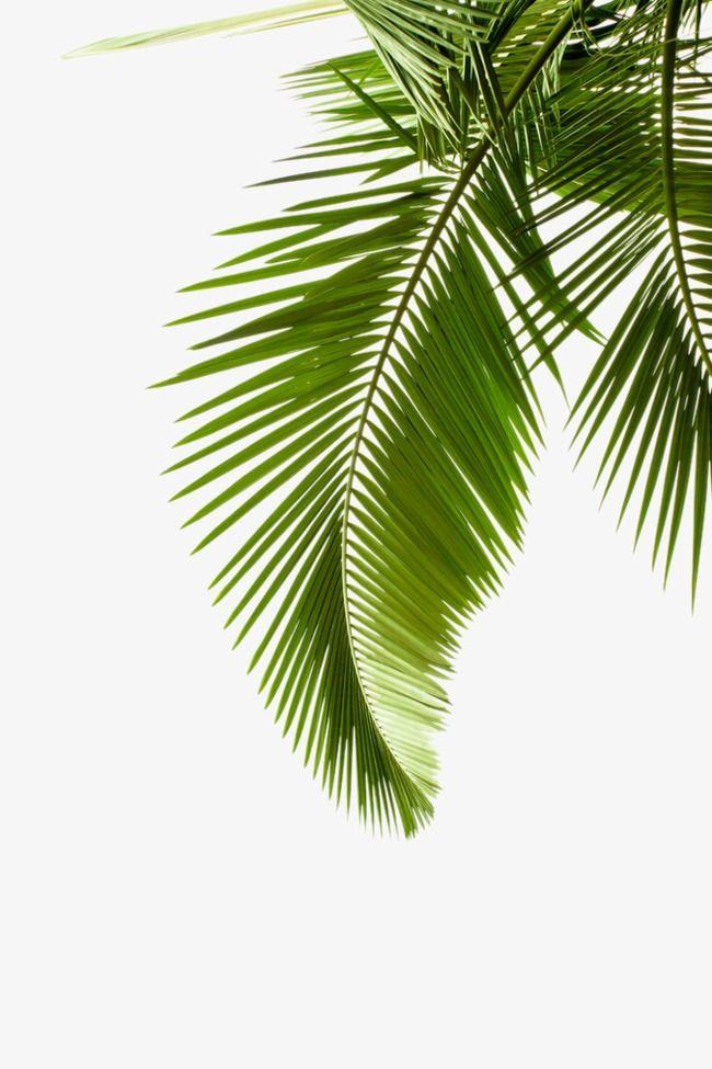 Hojas de palmeras clipart