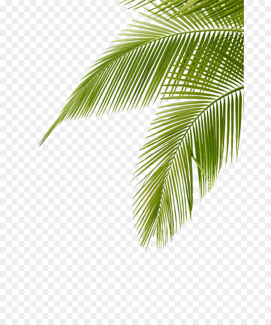 Coconut leaf clipart banner library stock Coconut leaves clipart 7 » Clipart Station banner library stock